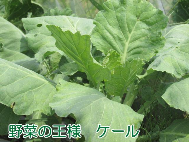 野菜の王様ケール