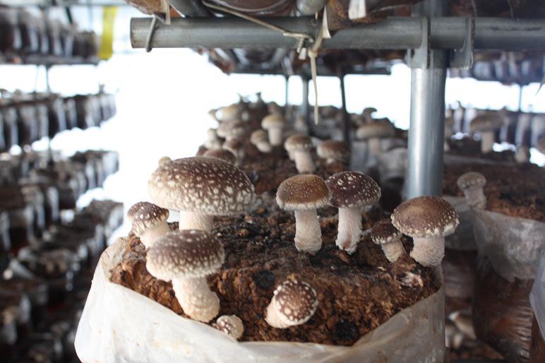 菌床しいたけ栽培状況